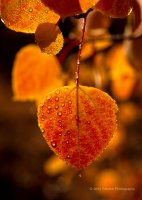 """ Aspen Leaf in Fall Rain """