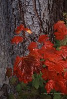 """ Vine Maple & Tree Bark """