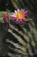 """ Water Lily Ripples """